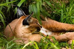 Caracal (JLyn Nature Photography) Tags: nationalzoo caracal smithsonianinstitute smithsonianzoo