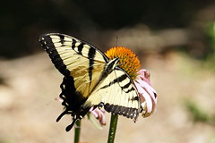 Male Eastern Tiger Swallowtail (Jim Atkins Sr) Tags: butterfly nc sony northcarolina cornflower easterntigerswallowtail newbern newbernnc tryonpalace papilioglaucus wildernessgarden sonya58