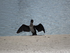 How big was that fish you caught this morning? (sheumais63) Tags: river scotland fife tay cormorant tayport