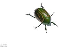 Flower chafer (Macraspis sp.) (ggallice) Tags: flowerchafer beetle coleoptera scarabaeidae rutelinae macraspis