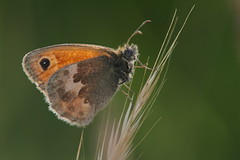 Coenonympha pamphilus (3) (JoseDelgar) Tags: josedelgar coenonymphapamphilus mariposa insecto ngc npc coth sunrays5 contactgroups greatphotographers alittlebeauty platinumheartaward autofocus thebestofmimamorsgroups thegalaxy