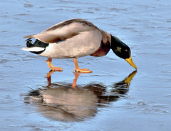 """Where's That Darn Food?"" (Vidterry) Tags: duck mallard ice winter lake frozen"