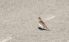 HL-IMG_4663-1 (Wildlife Paparazzi) Tags: voa hornedlark