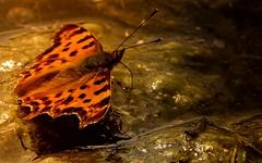 orange-Robert le Diable (Polygonia c-album) (Yasmine Hens) Tags: orange nature butterfly europa flickr belgium ngc papillon vase namur tang hens yasmine wallonie world100f iamflickr flickrunitedaward hensyasmine