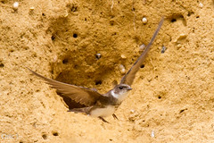 Hirondelle de rivage - Explored (Oric1) Tags: 22 canoneos7d france oric1 planguenoual tamron150600 animal bird ctesdarmor hirondellederivage oiseau avian bretagne brittany breizh armor
