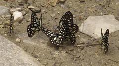 Metaporia agathon, Great Blackvein (Birdernaturalist) Tags: nepal butterfly pieridae richhoyer
