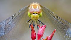 srieuse ! (christophe.laigle) Tags: black macro fuji dragonfly ngc npc libellule srieuse dcr250 raynox meadowhawk xpro2