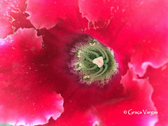 ( Graa Vargas ) Tags: appleiphone6s iphone graavargas 2016graavargasallrightsreserved flower pink 17307250716 flowers