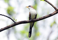Yellow-billed Cuckoo (av8s) Tags: nature birds photography newjersey nikon wildlife nj sigma cuckoo yellowbilledcuckoo oldmineroad d7100 120400mm