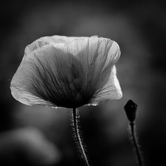 ouvert/ferm (Bruno MATHIOT) Tags: bw white plant black france flower macro fleur canon plante french eos mono europe noiretblanc outdoor sigma nb alsace poppies 105 vignettage extrieur