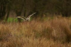 Short-eared owl in flight (P_1_B) Tags: sony sigma owl cambridgeshire owls rspb shortearedowl owlinflight shortearedowls shortearedowlinflight sigma150500 sonya77 rspbfendrayton shortearedowlflying slta77 slta77v sonya77v shortearedowlsinflight