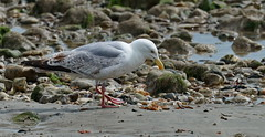 Crab for tea........ yummy! (Gary-West Sussex) Tags: beach sand rocks tea gull crab