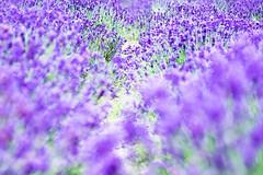 Lavender (Hideo N) Tags: lavender nature