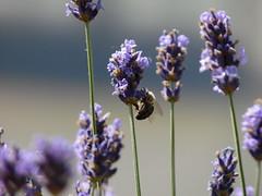 Lavendel Biene Makro (aliko1982) Tags: ape biene lavanda lavendel