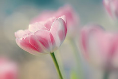 New colors (EdiB.) Tags: summer flower macro pastel tulip