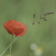 Poppy (Wouter de Bruijn) Tags: flowers plant flower nature grass bokeh outdoor depthoffield poppy poppies fujifilm serene delicate xt1 fujinonxf90mmf2rlmwr