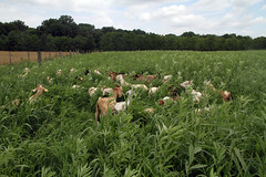 Fresh paddock (baalands) Tags: summer test season mix warm performance maryland goat meat pasture western kiko annual bucks grazing millet hemp sunn
