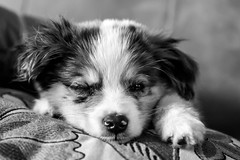 Operation (Poison) Ivy (fakefamousphotography) Tags: dog pet pets animal animals puppy pup aussie australianshepherd doggie pupper