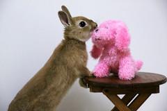 Ichigo san 227 ICHIGO san  (mensore) Tags: family pet brown cute rabbit bunny dwarf netherland ichigo   netherlanddwarf