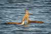 Necking (alicecahill) Tags: alaska gaviastellata usa wild nome ©alicecahill redthroatedloon loon ak breedingplumage wildlife bird animal droh dailyrayofhope