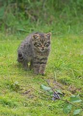 Anticipation (Wildlife Online) Tags: animal cat mammal feline wildcat britishwildlife babycat felissilvestris scottishwildcat felissilvestrisgrampia britishwildlifecentre ukwildlife wildcatkitten europeanwildcat grampia scottishwildcatkitten ukcat marcbaldwin wildlifeonline