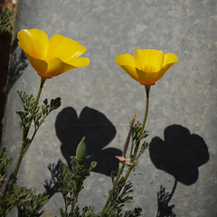 California Poppy 3 050513 (evimeyer) Tags: californiapoppy eschscholziacalifornica palosverdespeninsula