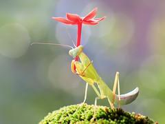 IMG_0306 (thienbs) Tags: macro mantis thienbs