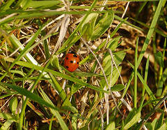 First Ladybird of 2013 on a beautiful sunny warm day (220C).  I could not resist taking this shot. (penlea1954) Tags: uk summer sun insect scotland spring ladybird dumfries galloway dumfriesshire 2013