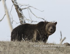 Grizzly Blaze on Ridge - #X9A3247 (Ross Swanson Photography) Tags: photography photo wildlife yellowstone wyoming grizzly ynp grizzlybear yelllowstonenationalpark wildlifephoto grizzlybearphoto grizzlynamedblaze
