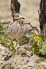 el serio (jucarsancar) Tags: españa naturaleza nature birds spain wildlife aves pajaros ornithology birdwatching oiseaux wildbirds ornitologia mañeru burhinusoedicnemus mendigorria alcaravan jucarsancar