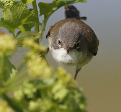 Whitethroat (Paul Green Photography) Tags: nature wildlife aves avian whitethroat nbw canonef400mmf56lusm canon7d paulgreenbirdphotography