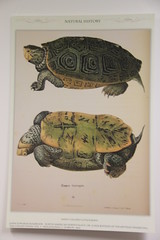 Terrapin (Digital Collections at the University of Maryland) Tags: umd williammorris hornbake umdlibraries umdwayzegoose