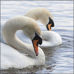 Intimacy (bretton98) Tags: uk birds wildlife swans mating lust intimacy harewoodhouse mirroring canon50d cobandpen bretton98 davidwhitephotography