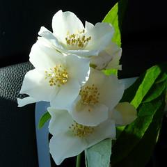 Fragrance... (veronix1) Tags: summer flower nature fleur estate sommer natur natura greece grecia jasmin t blume fiore grce vara afitos iasomie floarea veronix1 okdeshom halkidikki