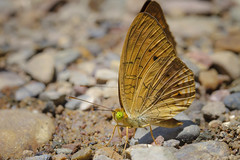 Butterflies gathering water on floor, kaeng krachan national park, thailand  Stock Photo: (Patrick Foto :)) Tags: park summer brazil orange brown green nature water argentina beautiful beauty animal yellow closeup america butterfly insect thailand fly spring lemon wings colorful close mud many background wildlife south crowd group drinking ground lepidoptera soil eat together national waterfalls gathering tropical sulphur species flapping common swarm alfalfa pieridae eurytheme