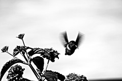 Everafter (Christinalanee) Tags: summer blackandwhite white black birds happy photography fly photo photos joy flight flickrphotos