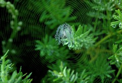 cloak of invisibility (just call me Mr Lucky) Tags: veiled web spiderweb hidden cloaked