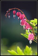 Hearts (mmoborg) Tags: flower hearts sweden sverige blommor löjtnantshjärta hjärtan mmoborg mariamoborg