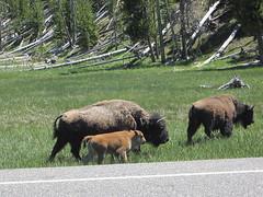 Bison (eumoirous) Tags: yellowstone bison yellowstone2013