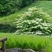 Doublefile Viburnum(Viburnum plicatum tomentosum 'Mariesii')