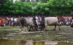 Bull Fight (imagrGhor) Tags: sport festival horizontal rural asia village culture places entertainment festivity tradition bullfight bangladesh developingcountry developingcountries  villager southasia thirdworld rurallife khulna majorityworld