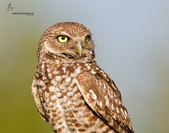 Burrowing Owl (www.momentsinature.com) Tags: florida josh raptor owl birdofprey athenecunicularia burrowingowl defendersofwildlife joshuaclark 500mmf4l 1dmkiv momentsinnature photoofthedaynwf12 coverphototnc13