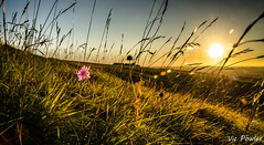 7973445368_d7bca7473a_o (Vick251) Tags: pink sunset flower grass flickr dof cotswolds lensflare flare breeze whitehorse uffington dragonhill themanger explored nikon18200mmvr giantsstair d7000