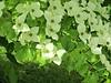 Cornus 'kousa' (Linda DV (back again)) Tags: park nature canon geotagged belgium arboretum meise jardinbotanique cornus cornaceae nationalbotanicgardenofbelgium 2013 geomapped meiseplantentuin nationaleplantentuinmeise lindadevolder powershotsx40