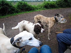 Oakley, Max and Cindy (Julia Livesey) Tags: max cindy dogs springerspaniel oakley lurcher uptonheath