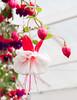 Untitled II (Guruinn) Tags: red white plant flower planta june greenhouse hothouse rautt blóm hveragerði júní gróðurhús 2013 hvítt