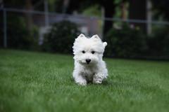 happy boy (paulh192) Tags: dog nikon westie terrier westhighland d4