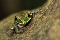 Leptopelis flavomaculatus (zimbart) Tags: africa frogs amphibians mozambique anura gorongosanationalpark leptopelis arthroleptidae leptopelisflavomaculatus cheringoma