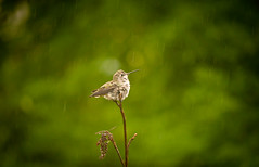 Anna Hummingbird Hunkers down in the Rain 1 of 3 (Orbmiser) Tags: bird rain oregon portland nikon hummingbird perched summmer d90 annahummingbird 55200vr