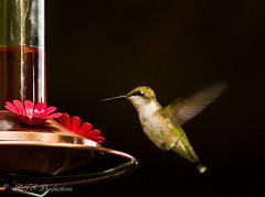 Hungry Hummer! (Rick Smotherman) Tags: summer stpeters nature birds canon garden outdoors morninglight backyard hummingbird feeding wildlife flight feeder august 7d birdsinflight canon300mmf4l missouribirds canon7d